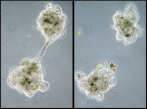 Amoeba reproducing