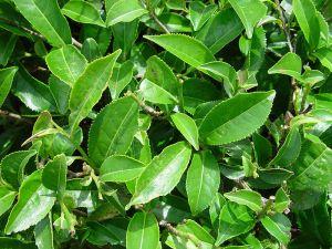 Tea foliage