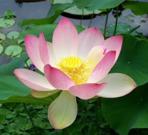 Nelumbo nucifera - the sacred lotus